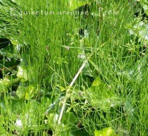 Prêle - Equisetum arvense
