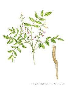 15254995 - astragalus with detail of root